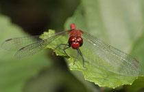Blutrote Heidelibelle, Sympetrum sanguineum, erwachsenes Männchen (1).