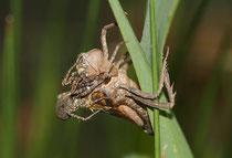 Eine Wolfsspinnenart schlägt eine Gemeine Falkenlibelle (Cordulia aenea) unmittelbar nach Beginn ihrer Emergenz.