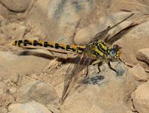 Große Zangenlibelle, Onychogomphus uncatus, erwachsenes Weibchen (2).