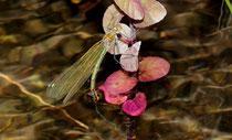 Die Eiablage der Gebänderten Prachtlibelle, calopteryx splendens, (1)