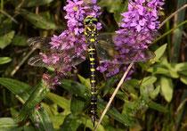 Zweigestreifte Quelljungfer, Cordulegaster boltonii, erwachsenes Weibchen.