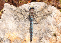 Männchen der Alpen-Mosaikjungfer, Aeshna caerulea, (2)