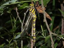 Zweigestreifte Quelljungfer, Cordulegaster boltonii, Männchen beim Schlupf.