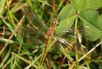 Ein frisch geschlüpftes Weibchen der Gebänderten Heidelibelle, Sympetrum pedemontanum.