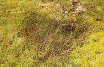 Lebensraum der Alpen-Smaraglibelle, Somatochlora alpestris,  (2)