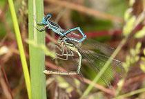 Blaue Federlibelle, Platycnemis pennipes, befüllen des sekundären Geschlechtsteils des Männchens im Tandem.