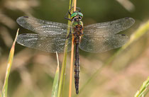 Ruhendes Männchen von Somatochlora flavomaculata (1).