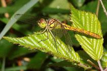 Gemeine Heidelibelle, Sympetrum vulgatum, junges Weibchen.