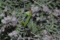 Eine Gottesanbeterin (Mantis religiosa) in der grünen Variante beim reinigen ihrer Fangarme.