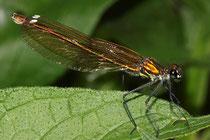 Gebänderte Prachtlibelle, Calopteryx splendens, erwachsenes Weibchen (2).