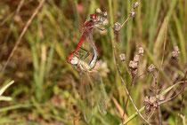 Frühe Heidelibelle (Sympetrum fonscolombii), Paarungsrad (2).