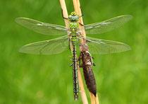 Große Königslibelle, Anax imperator, frisch geschlüpftes Männchen mit Exuvie.
