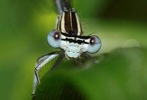 Ein fast ausgefärbtes Männchen der Blauen Federlibelle, Platycnemis pennipes.