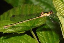 Gemeine Binsenjungfer, Lestes sponsa, junges Weibchen.