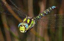 Blaugrüne Mosaikjungfer, Aeshna cyanea, Männchen im Anflug.