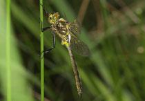 Glänzende Smaragdlibelle, Somatochlora metallica, junges Männchen (1).
