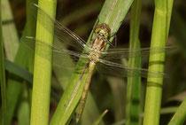 Gemeine Heidelibelle, Sympetrum vulgatum, ein Männchen kurz vor dem Jungfernflug.