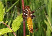 Plattbauch, Libellula depressa, relativ junges Weibchen.