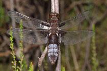 Plattbauch, Libellula depressa, sehr altes Weibchen.