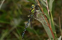 Blaugrüne Mosaikjungfer, Aeshna cyanea, erwachsenes Männchen (2).