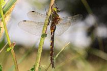 Ruhendes Weibchen von Somatochlora flavomaculata (1).