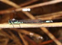 Hauben - Azurjungfer, Coenagrion armatum, erwachsenes Männchen (1).