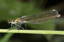 Gebänderte Prachtlibelle, Calopteryx splendens, erwachsenes Weibchen (4).