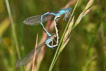 Gemeine Becherjungfer, Enallagma cyathigerum, Kopula mit einem Weibchen in blauer Variante.