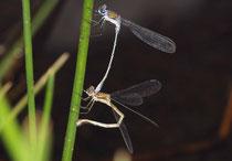 Gemeine Binsenjungfer, Lestes sponsa, Eiablage an Binsen in Tandemformation.