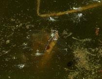 Großen Pechlibelle, Ischnura elegans, Eiablage (1).