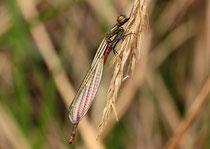 Frühe Adonislibelle, Pyrrhosoma nymphula, frisch geschlüpftes Männchen.