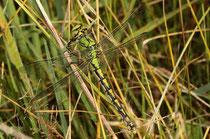 Grüne Flussjungfer, Ophiogomphus cecilia, erwachsenes Weibchen (1).