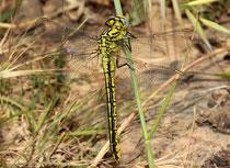 Gelbe Keiljungfer, Gomphus simillimus, junges Weibchen.