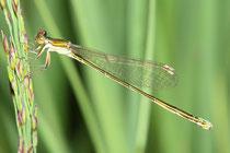 Zwerglibelle, Nehalennia speciosa, erwachsenes Weibchen.