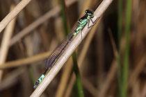 Hauben - Azurjungfer, Coenagrion armatum, erwachsenes Männchen (2).