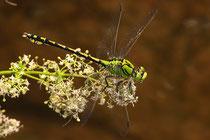 Grüne Flussjungfer, Ophiogomphus cecilia, adultes  Männchen (1).