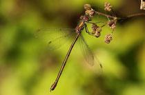 Gemeine Weidenjungfer, Chalcolestes viridis, altes Weibchen.