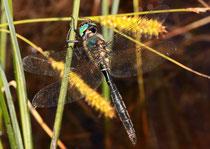 Alpen-Smaragdlibelle, Somatochlora alpestris, erwachsenes Männchen (3)