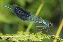 Gebänderte Prachtlibelle, Calopteryx splendens, erwachsenes Männchen (1).
