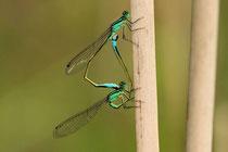 """Großen Pechlibelle, Ischnura elegans, Kopula mit einem Weibchen der """"forma typica""""."""