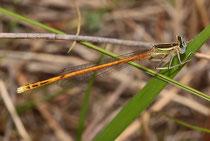 Rote Federlibelle, Platycnemis acutipennis, erwachsenes Männchen (4).