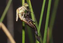 Frühe Adonislibelle, Pyrrhosoma nymphula, Männcehn während der Emergenz.