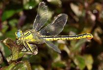 Gelbe Keiljungfer, Gomphus simillimus, Weibchen mit Eiballen.