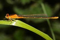 """Kleine Pechlibelle, Ischnura pumilio, junges Weibchen der """"forma aurantiaca"""" (3)."""
