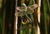 Paarungsrad der Grünen Mosaikjungfer, Aeshna viridis, (1).