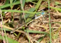 Glänzende Binsenjungfer, Lestes dryas, androchromes Weibchen.