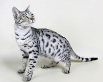 Санни (кошка)