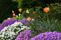 Bodendecker mit Tulpen