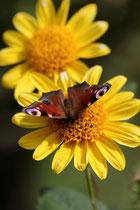 Tagpfauenauge auf Sonnenblume