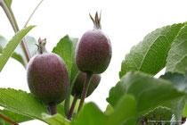Junge Äpfel (Elstar)
